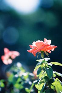 ピンクのバラ FYI00115870