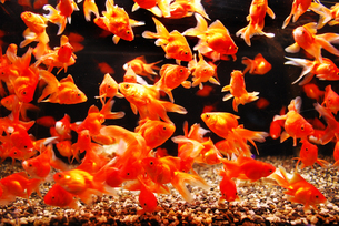 金魚群 FYI00117026