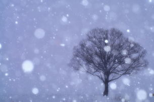 降りしきる雪と枯れ木 FYI00117157