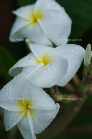 南国の花 FYI00117368