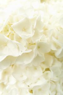 白いアジサイ FYI00117606