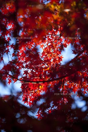 赤く色づくモミジ FYI00117633