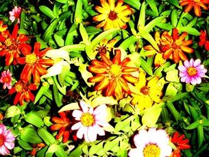 鮮やかな花 FYI00120707