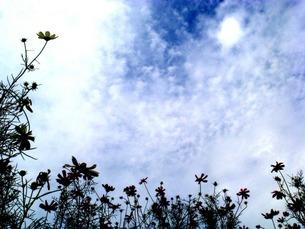 空と秋桜シルエット FYI00120722