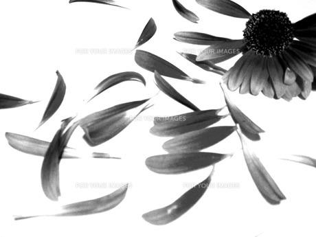 花モノクロ FYI00120734