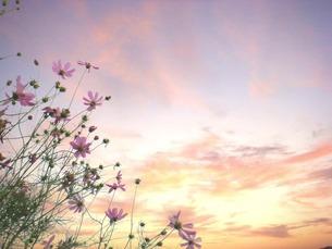 夕焼けと秋桜 FYI00120737