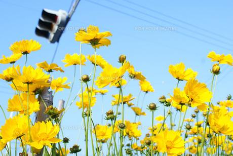 黄色いコスモス FYI00123072