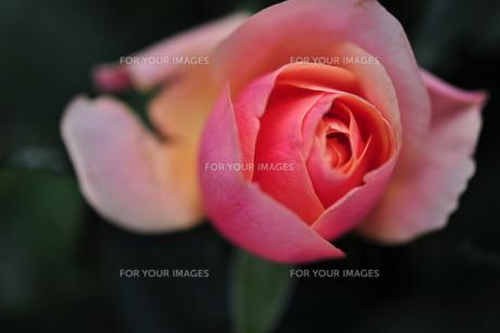 薔薇 FYI00123454