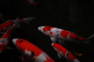鯉 FYI00123477