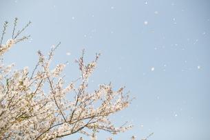 桜舞う FYI00123483