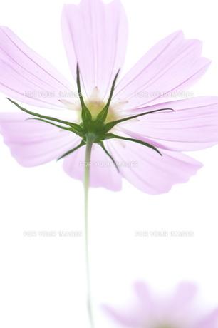 ピンク色のコスモス FYI00123491