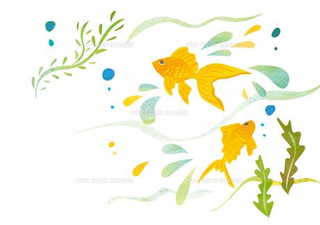 水で泳ぐ金魚 FYI00125962