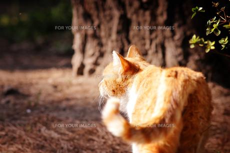 公園の茶トラ猫 FYI00126264