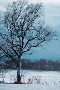 雪原と白樺 FYI00128375