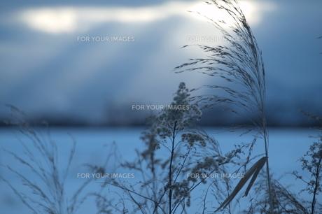 雪野原と雑草 FYI00128378