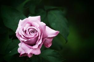 紫のバラ FYI00128382