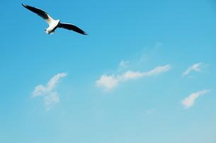飛翔するカモメ FYI00128440