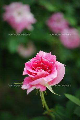 ピンクのミニ薔薇 FYI00128466
