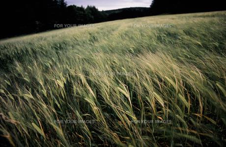 麦畑1 FYI00131444
