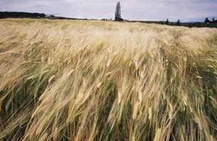 麦畑2 FYI00131466