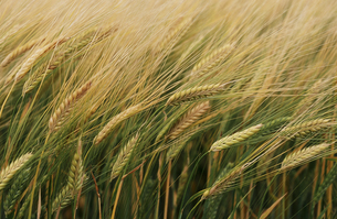 麦畑3 FYI00131477