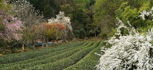茶畑の春(1) FYI00131483