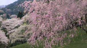 桜と茶畑(2) FYI00131501