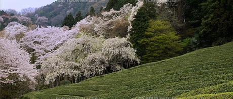 茶畑の春(3) FYI00131507