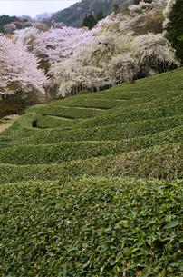 茶畑の春(2) FYI00131514