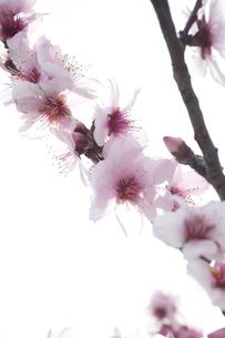 桜 FYI00133312