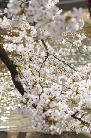 桜 FYI00133317