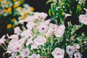 小さい花 FYI00134100