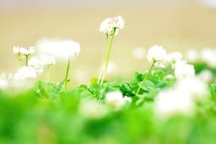 白い花 FYI00134489