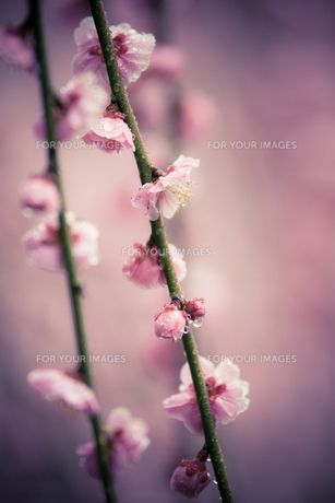梅の記憶 FYI00134839