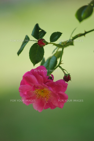 ピンクの薔薇 FYI00137091