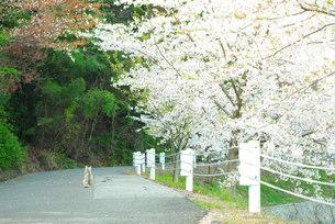 桜と猫 FYI00137675