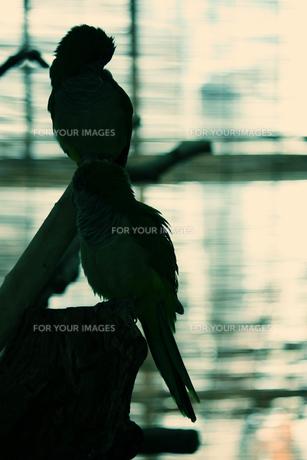 影のインコ FYI00144332