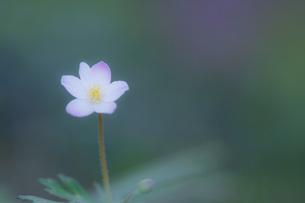 ふんわりと優しく咲くニリンソウ FYI00145160