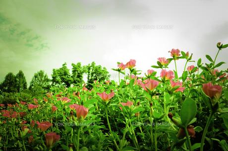 ピンクの花 FYI00149998
