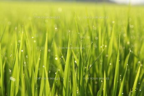 稲穂の水滴 FYI00151254