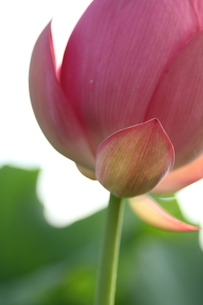 蓮の花 FYI00151272