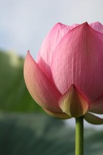 蓮の花 FYI00151276