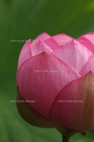 蓮の花 FYI00151289