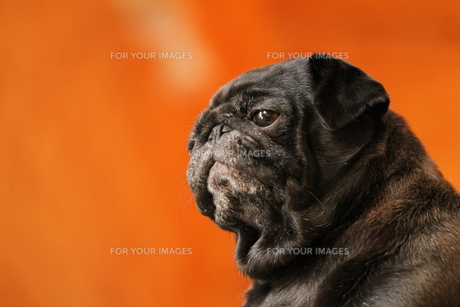 前を見る黒のペチャ顔犬 FYI00151766