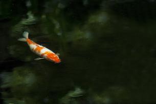 池の鯉 FYI00152078