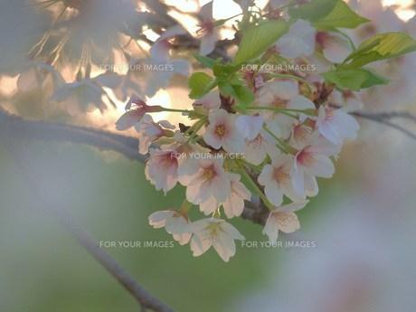桜 FYI00152862