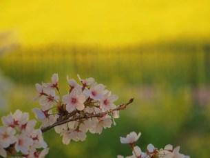 桜と菜の花 FYI00152867