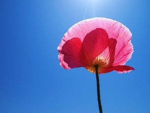 青空と一輪の花 FYI00152879