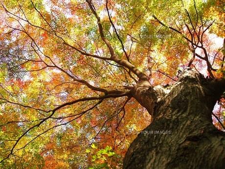 紅葉の大木 FYI00152880