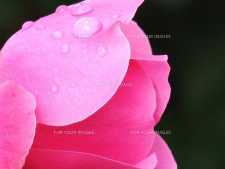 ピンクのバラ FYI00152925